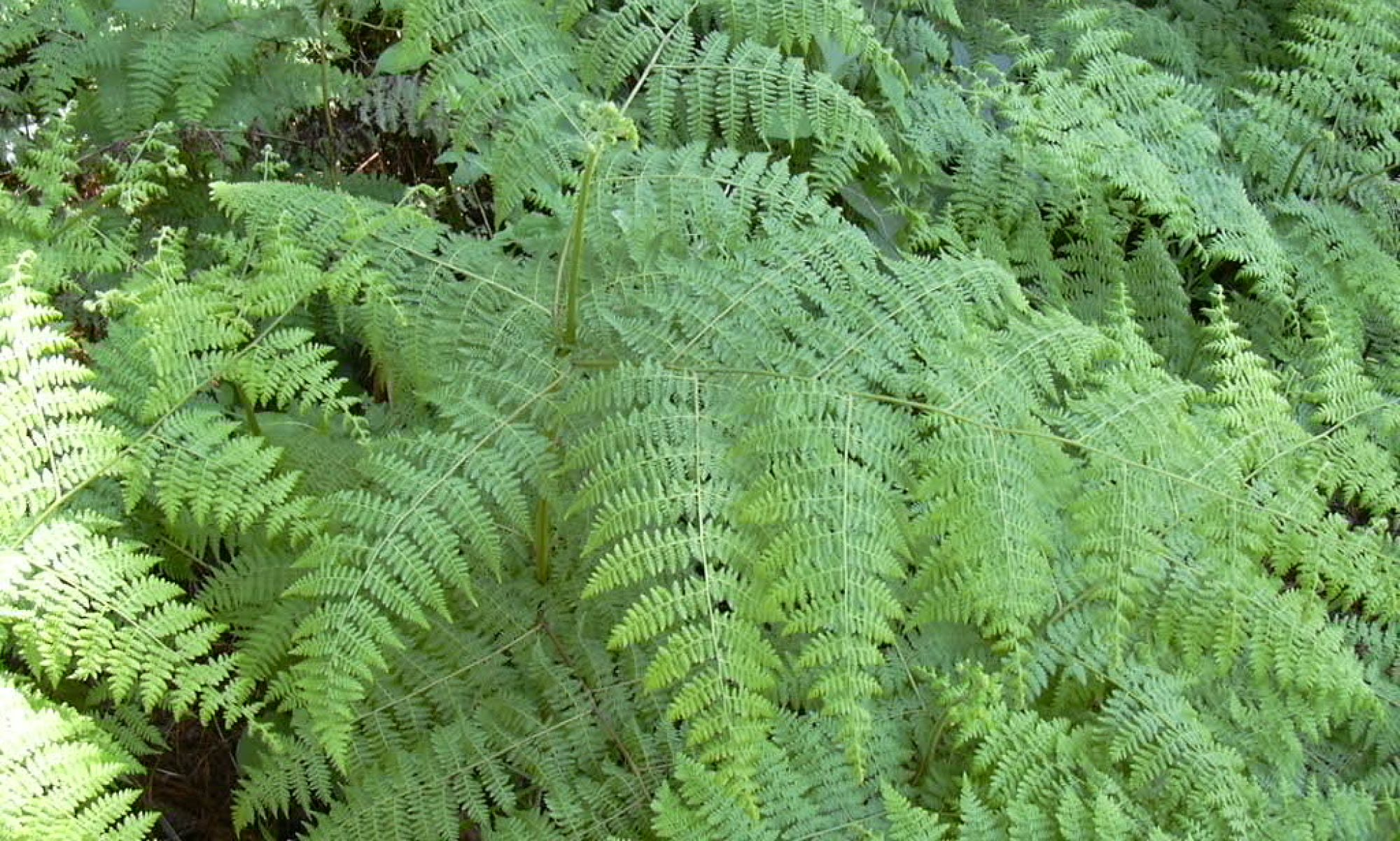 Fern Society of Southern Africa